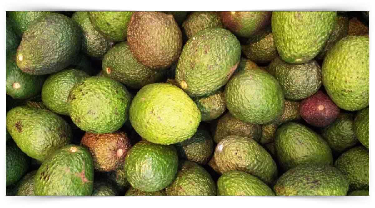Avokado Yetiştiriciliği Kursu MEB Onaylı