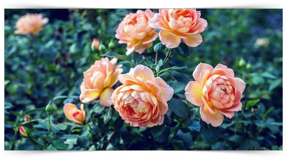 Begonia Yetiştiriciliği Kursu MEB Onaylı