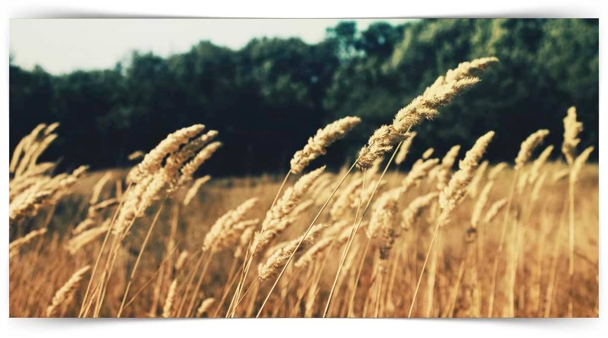 Buğdaygil Yem Bitkileri Yetiştiriciliği Kursu MEB Onaylı