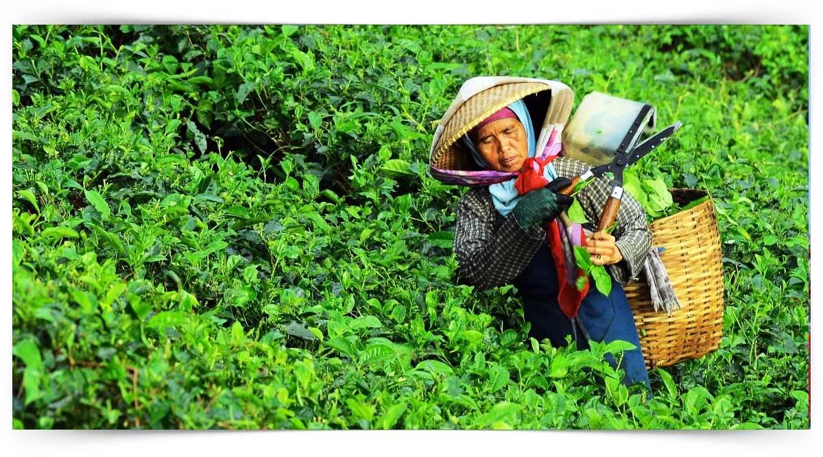 Çay Harmanlama Elemanı Kursu MEB Onaylı