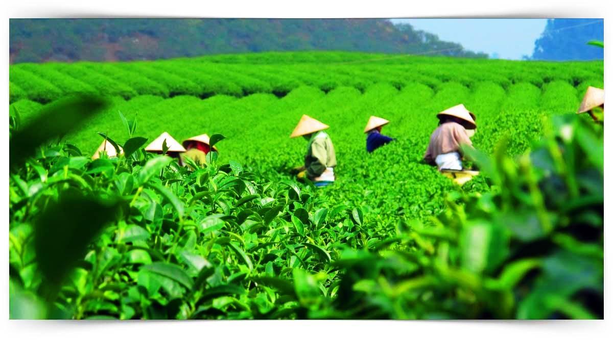 Çay Üretimi Ve İşleme Elemanı Kursu MEB Onaylı