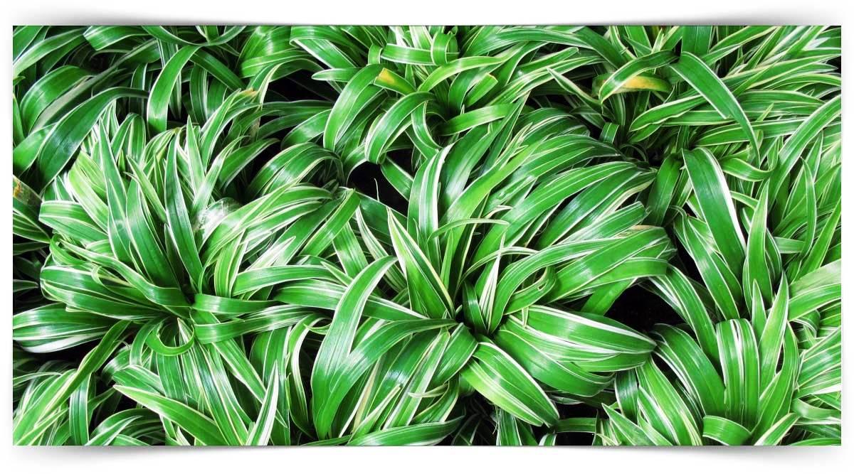Chlorophytum Yetiştiriciliği Kursu MEB Onaylı