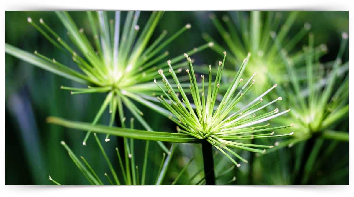 Cyperus Yetiştiriciliği Kursu MEB Onaylı