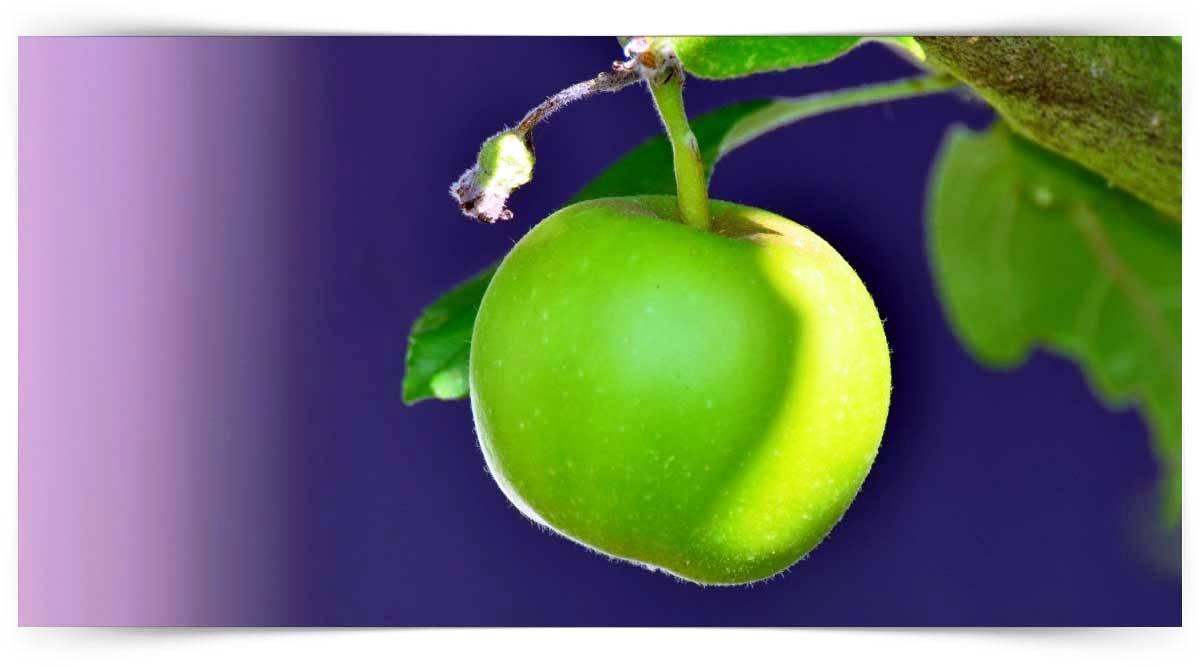 Elma Yetiştiriciliği Kursu MEB Onaylı