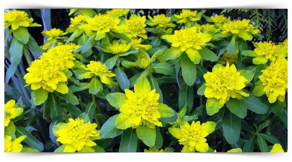 Euphorbia Yetiştiriciliği Kursu MEB Onaylı