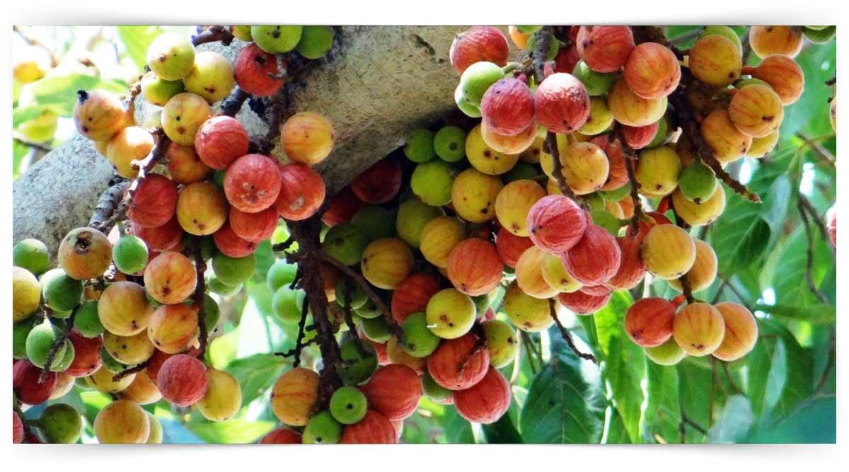 Ficus Yetiştiriciliği Kursu MEB Onaylı