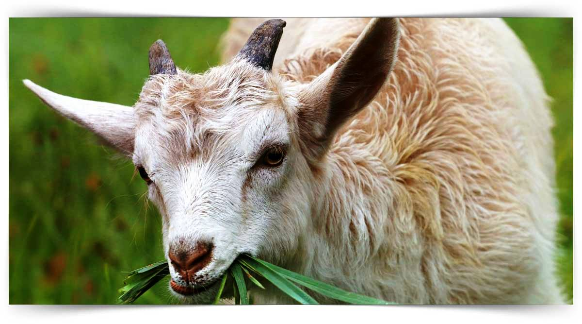 Keçi Yetiştiriciliği Kursu MEB Onaylı