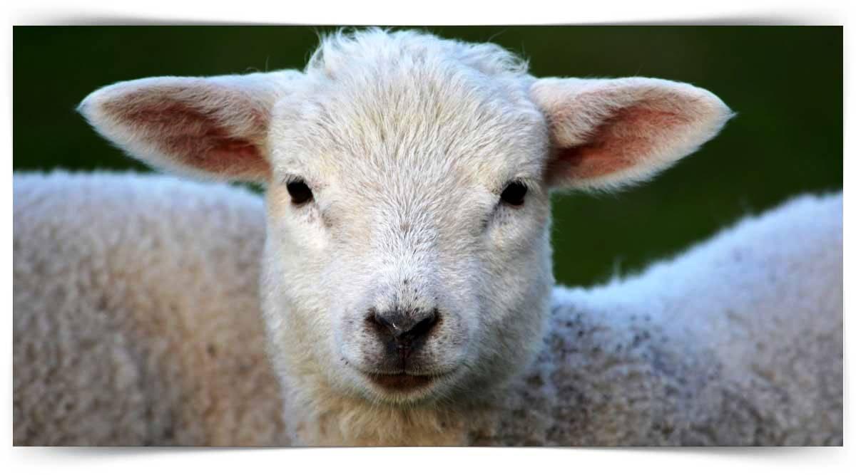 Koyun Yetiştiriciliği Kursu MEB Onaylı