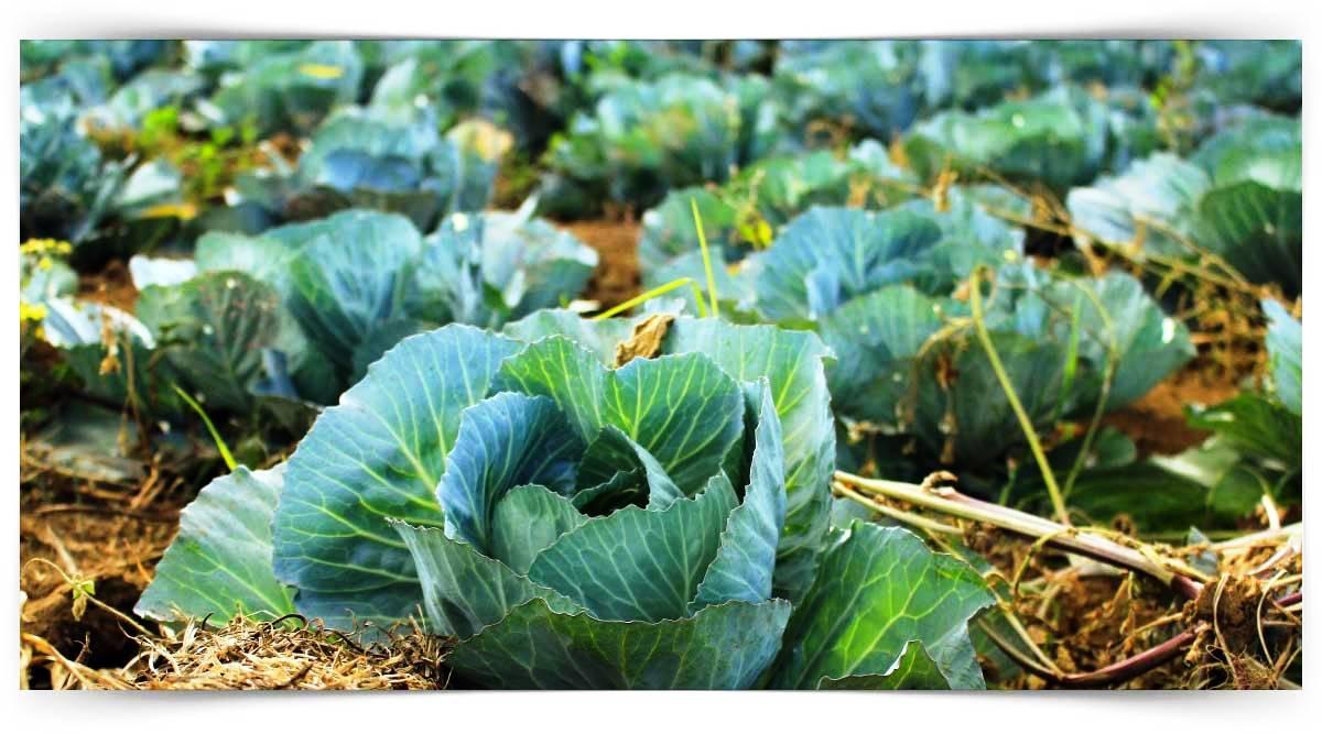 Lahanagil Sebzeler Yetiştiriciliği Kursu MEB Onaylı