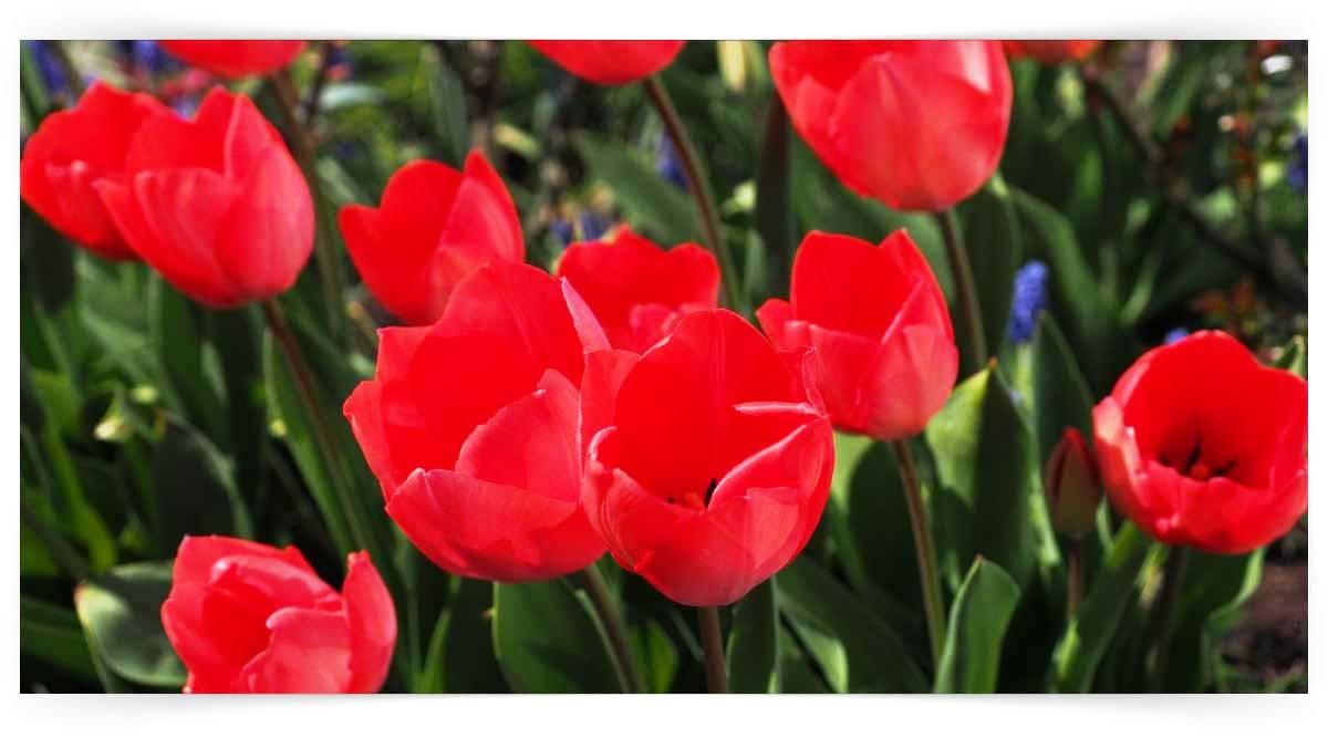 Liliaceae Familyası Yetiştiriciliği Kursu MEB Onaylı