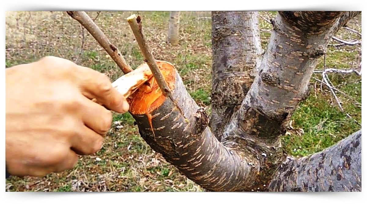 Meyve Ağaçlarında Aşılama Kursu MEB Onaylı
