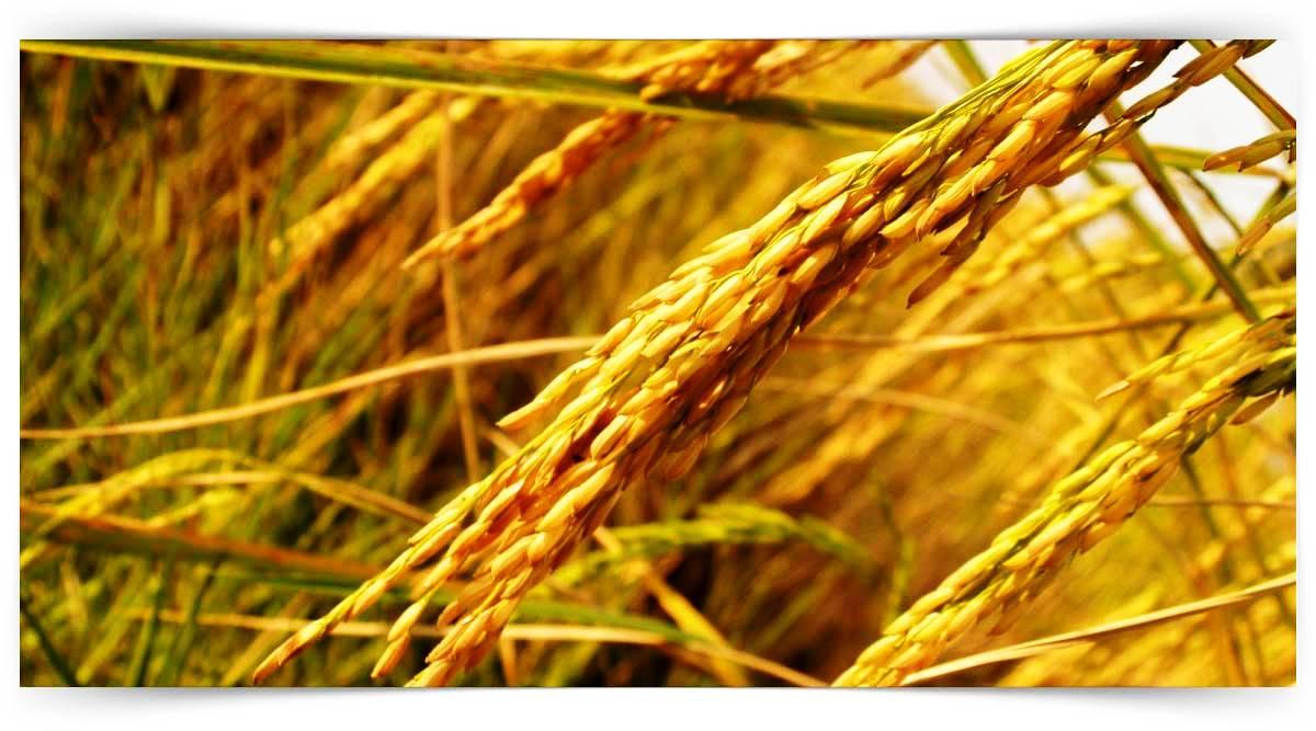 Organik Çeltik Yetiştiriciliği Kursu MEB Onaylı