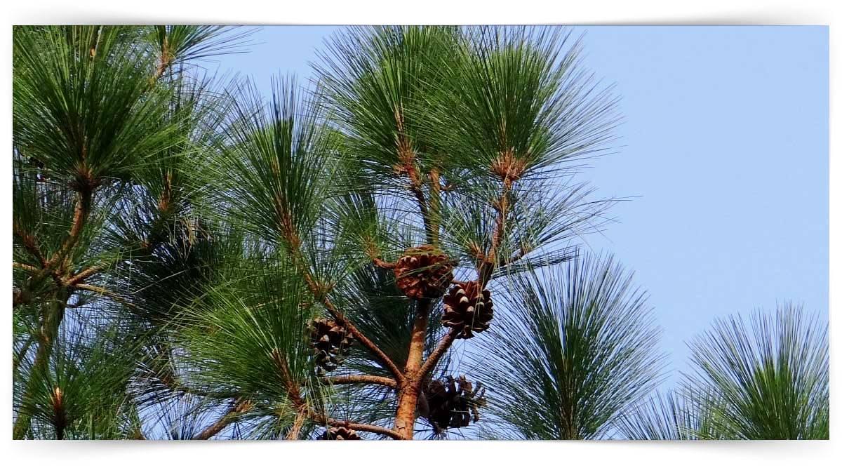 Pinaceae Familyası Yetiştiriciliği Kursu MEB Onaylı