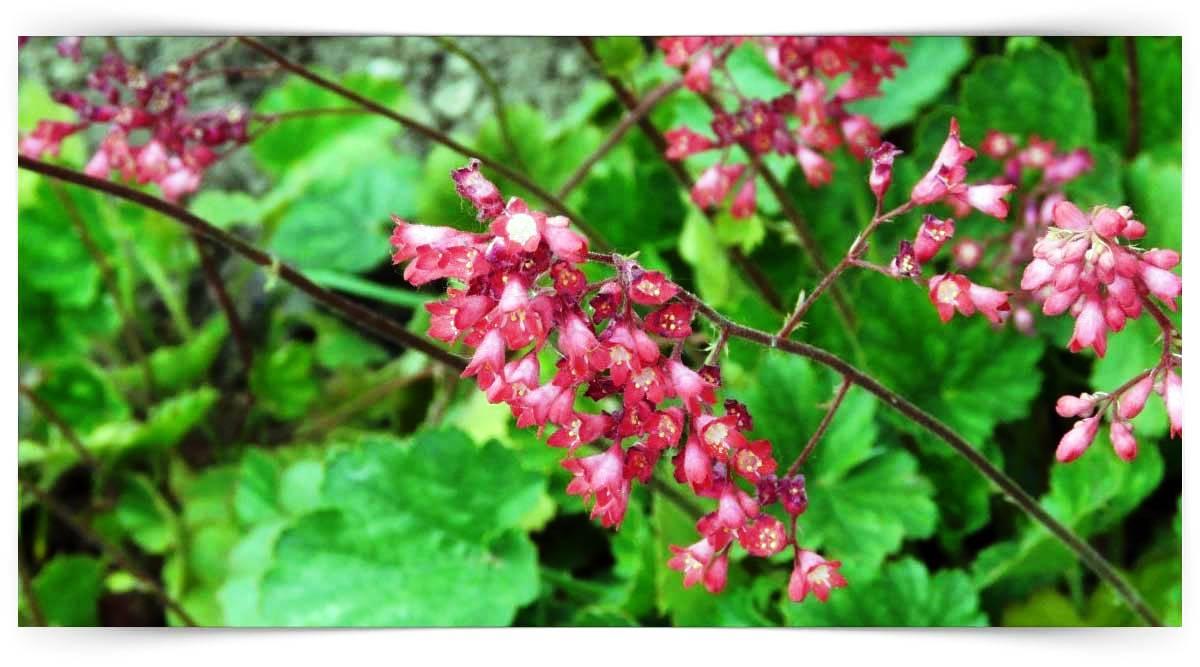 Saxifragaceae Familyası Yetiştiriciliği Kursu MEB Onaylı
