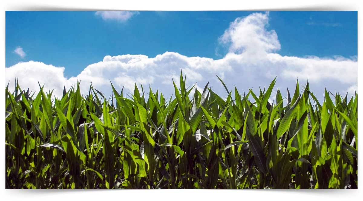 Sıcak İklim Tahıl Yetiştiriciliği Kursu MEB Onaylı