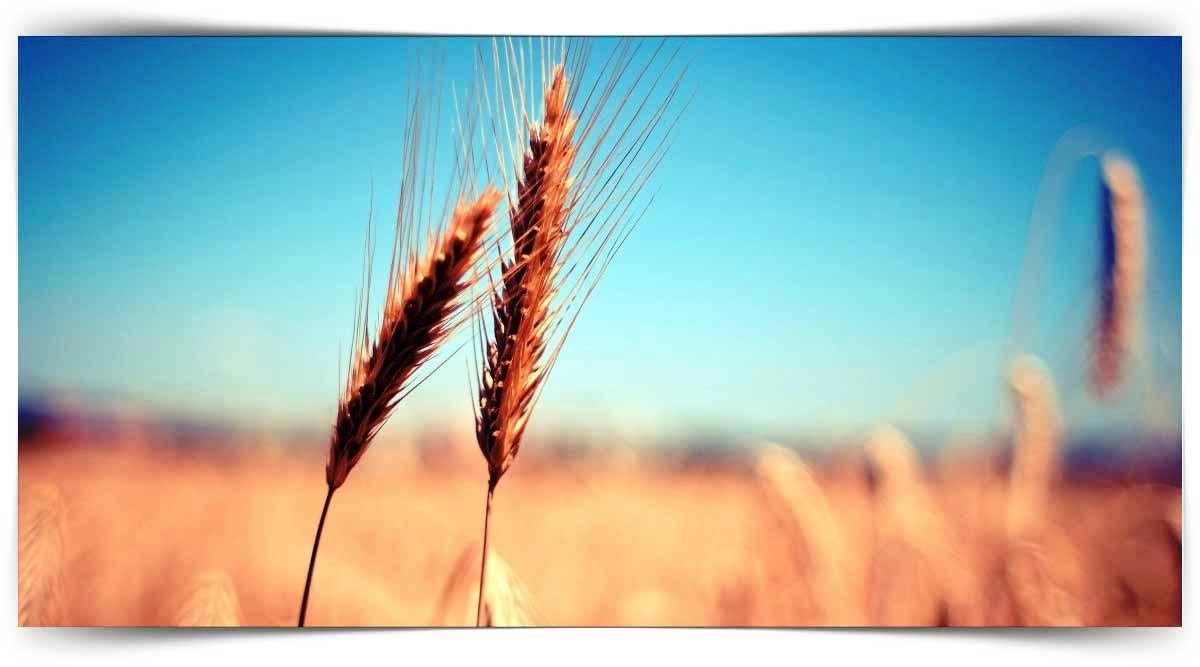 Tahıl Yetişticiliği Kursu MEB Onaylı