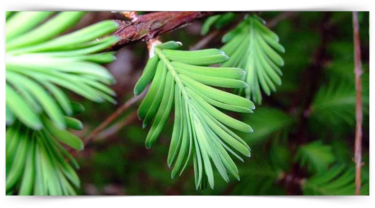 Taxodiaceae Familyası Yetiştiriciliği Kursu MEB Onaylı