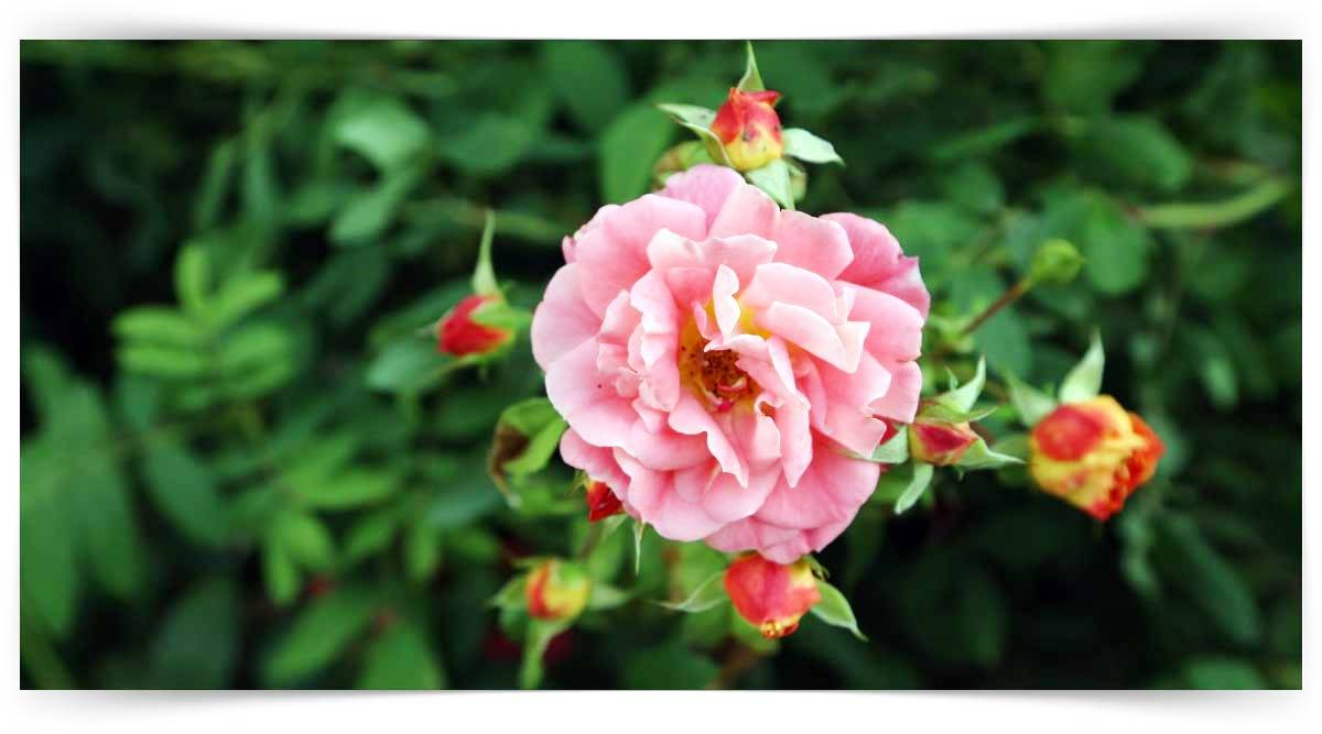 Tek Yıllık Çiçeklerin Yetiştiriciliği Kursu MEB Onaylı
