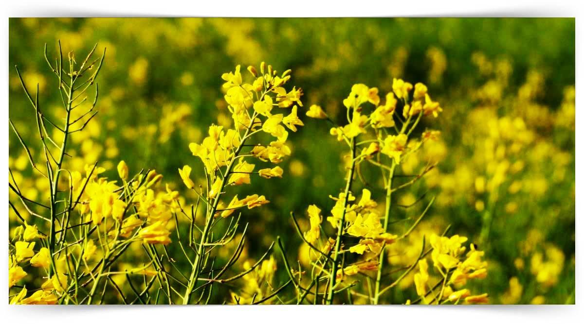 Yağ Bitkileri Yetiştiriciliği Kursu MEB Onaylı