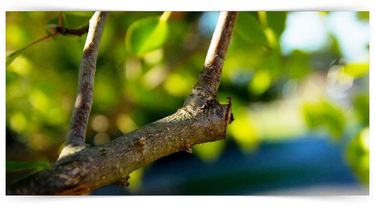 Zeytin Ağacı Budama Kursu MEB Onaylı
